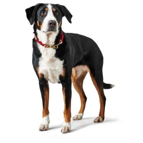 Tinnum-koiralla